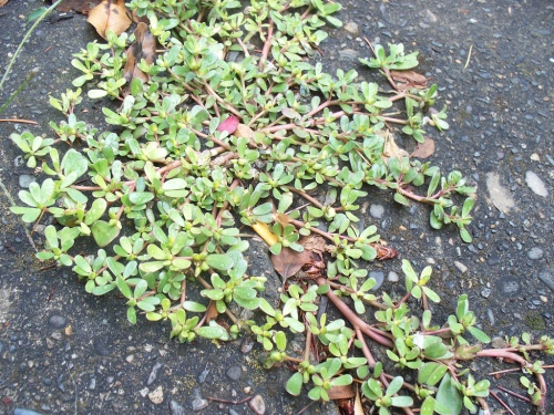 Purslane, CC by  Alyss.